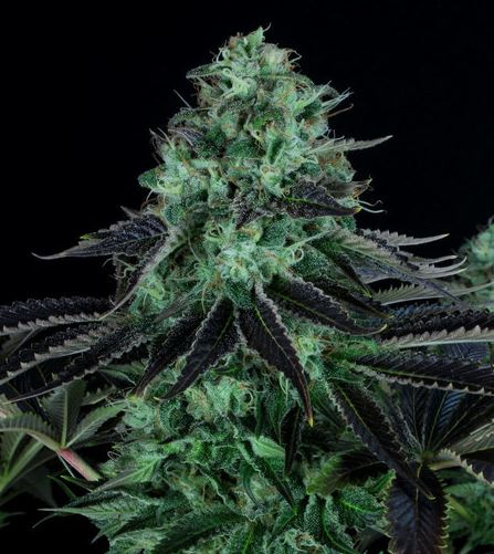 Darkstar Kush von TH Seeds