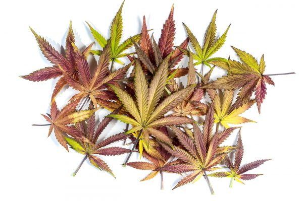Gratis Cannabis Samen