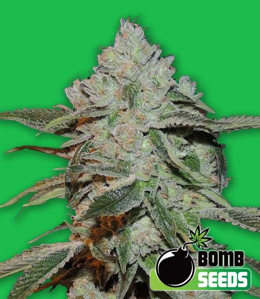 Atomic-Bomb-Seeds