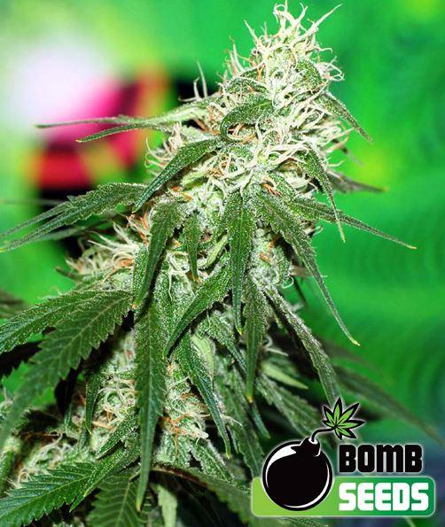 Buzz Bomb von Bomb Seeds