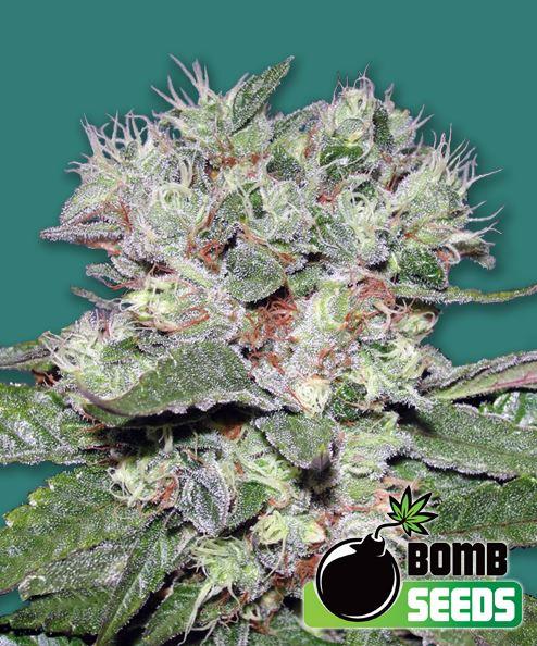 CBD Bomb von Bomb Seeds