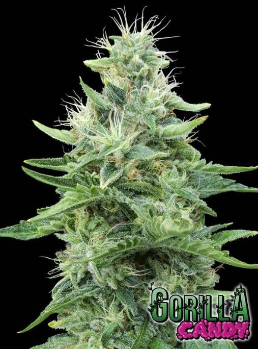 Gorilla Candy von Eva Seeds