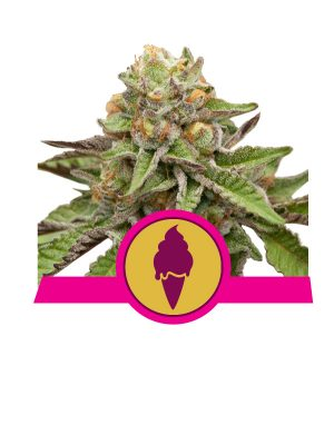 Green-Gelato Royal Queen Seeds