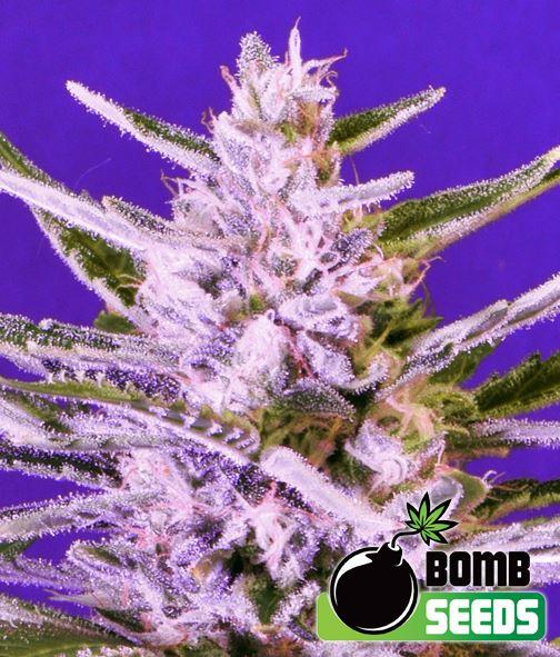 Ice Bomb von Bomb Seeds
