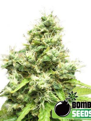 Medi Bomb #1 von Bomb Seeds
