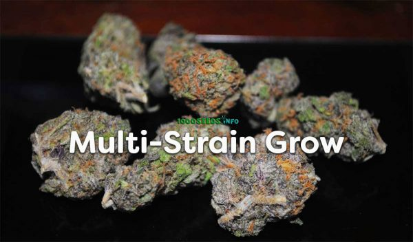 Multi-Strain-Grow