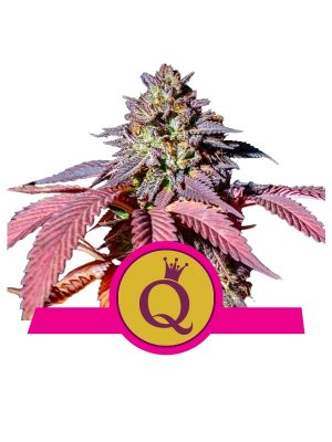 Purple-Queen