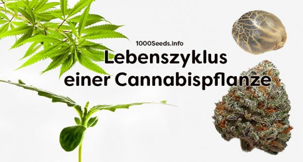 Lebenszyklus-Cannabispflanze