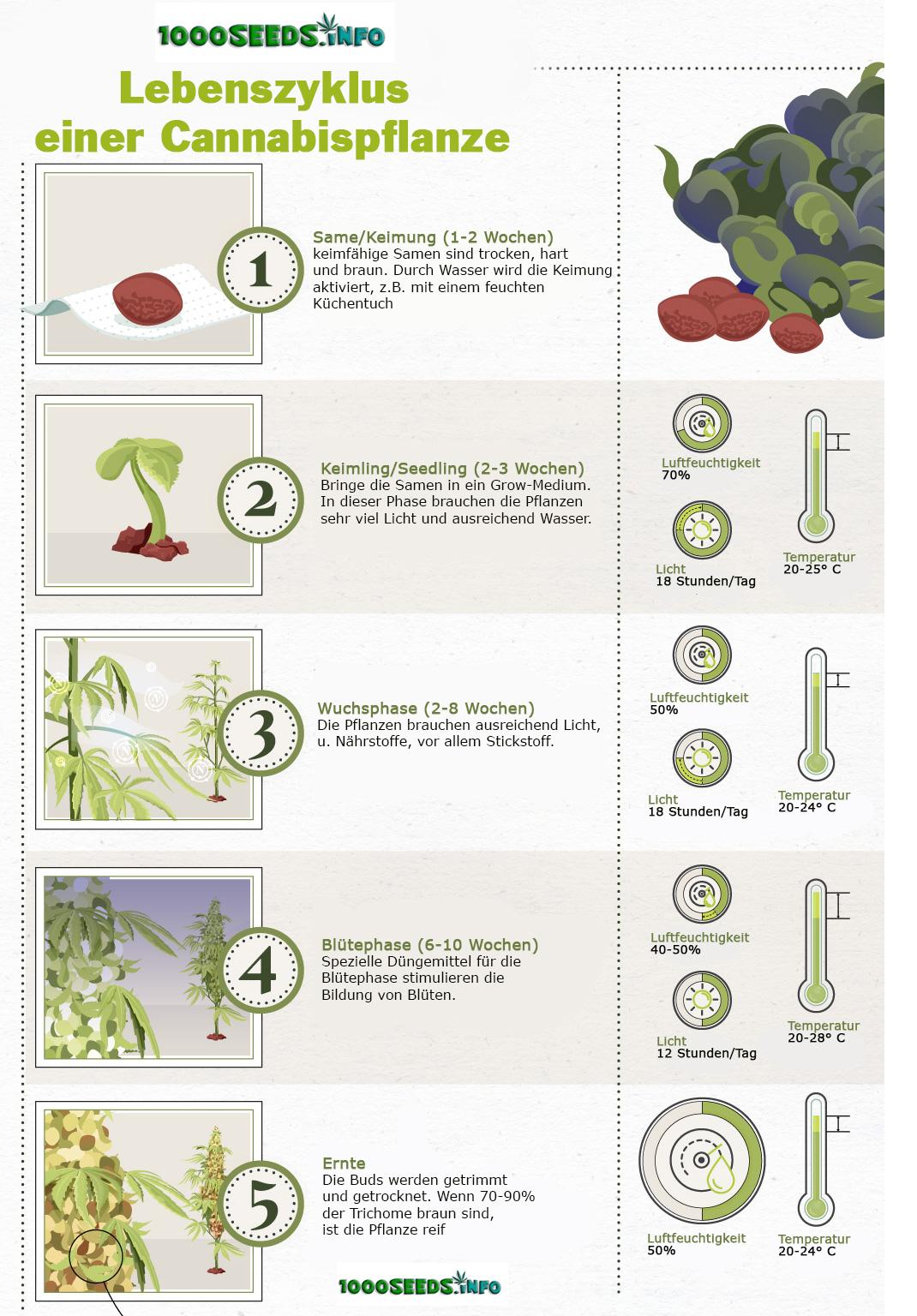 Lebenszyklus-einer-Cannabispflanze