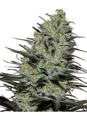 Morpheus von Buddha Seeds