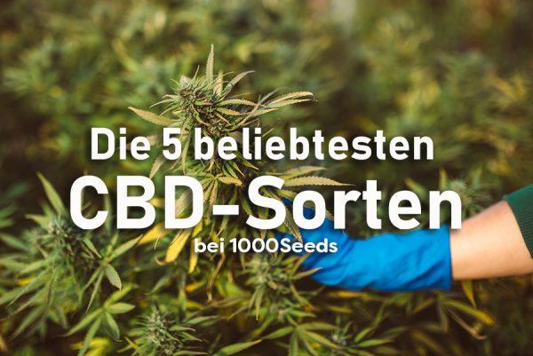 Die 5 beliebtesten CBD Cannabis Sorten bei 1000Seeds