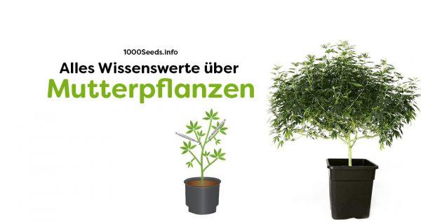 Mutterpflanzen