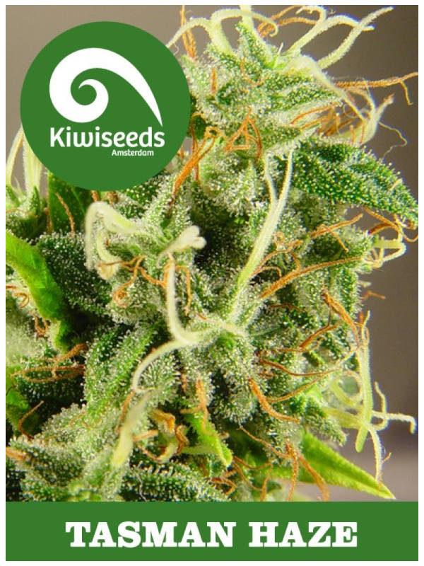 Tasman Haze von Kiwi Seeds