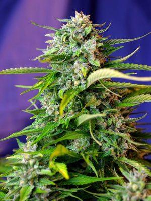 Auto Jack 47 von Sweet Seeds