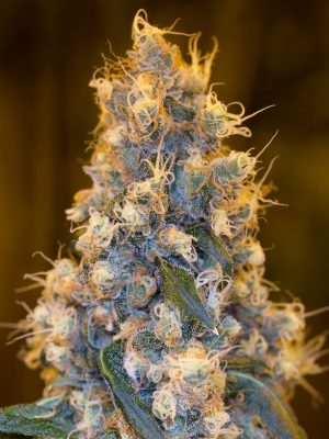 Blue Fire von Humboldt Seeds