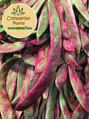 Companian-Plants-Buenos-Aires-Bohne
