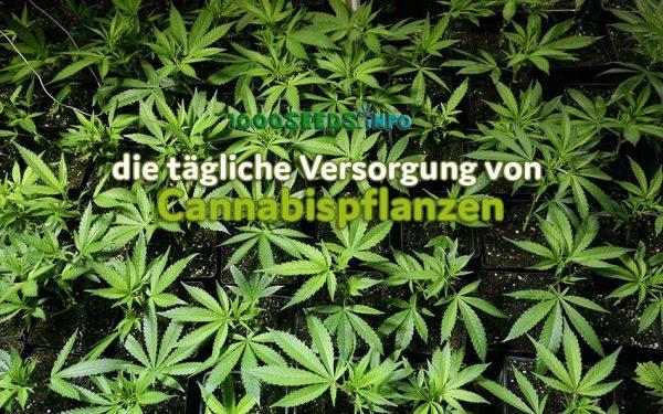 Pflege-Cannabispflanzen