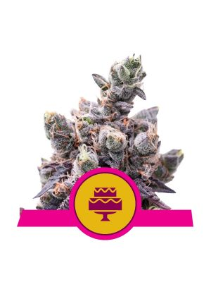 Wedding Gelato von Royal Queen Seeds
