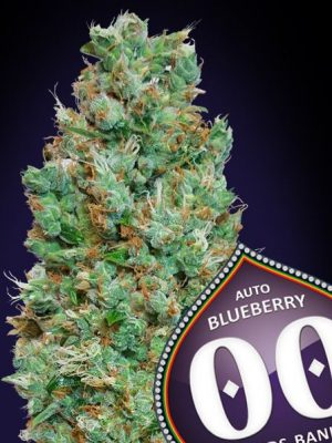 Auto Blueberry von 00 Seeds