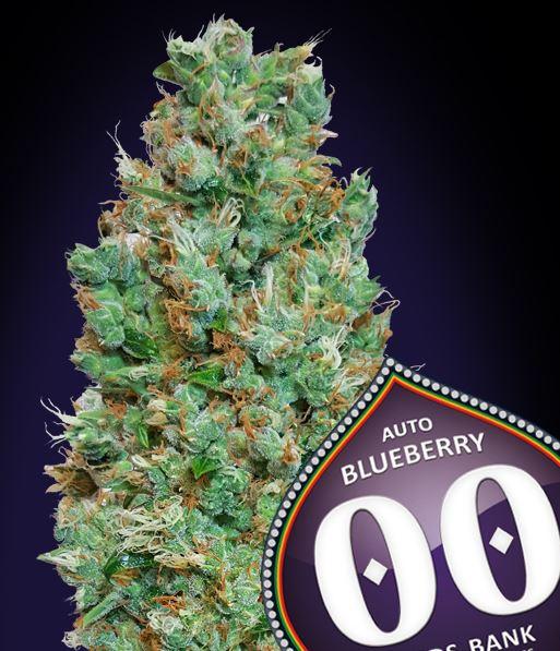 Auto Blueberry von 00 Seeds