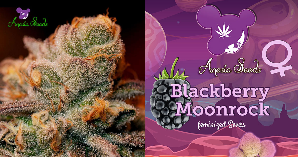 Blackberry-Moonrocks-Anesia-neu-2019