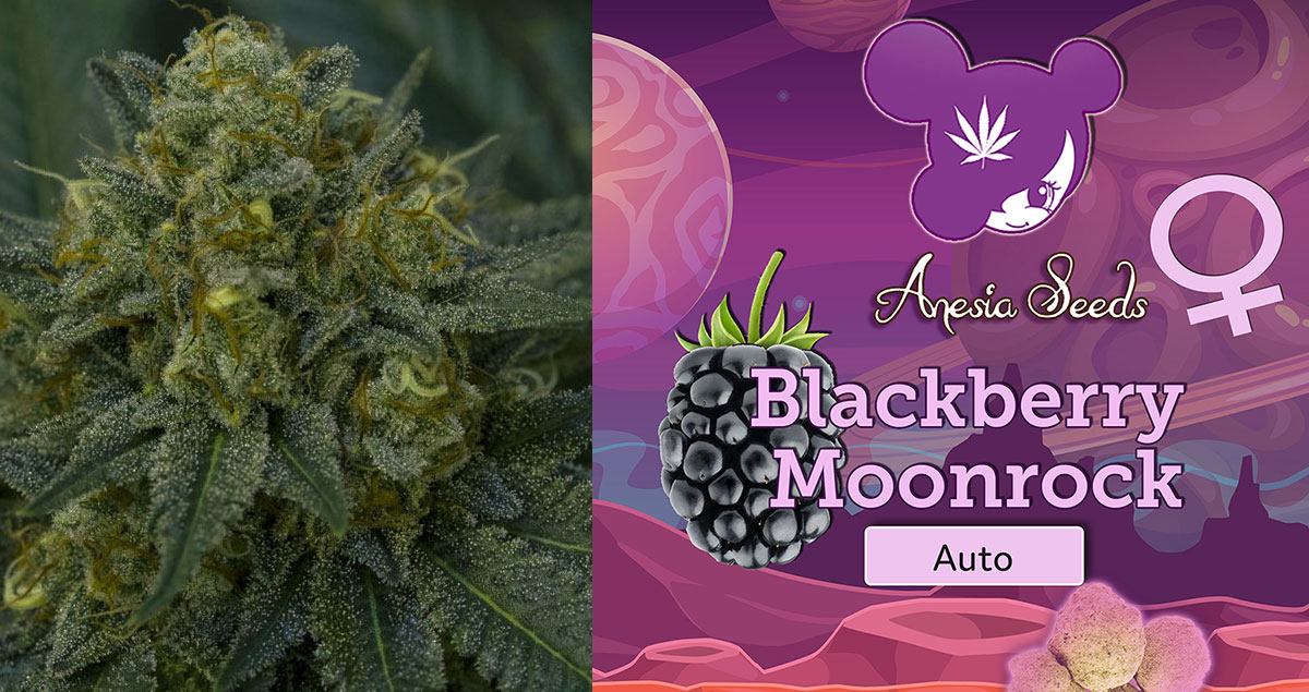 Blackberry-Moonrocks-Auto-neu-2019