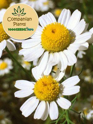 Companian-Plant-Kamille