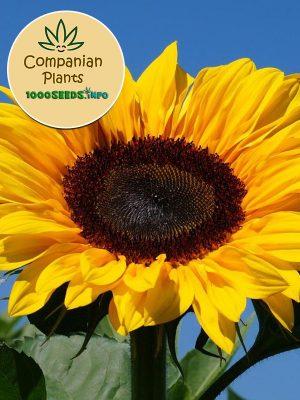 Companian-Plant-Sonnenblume