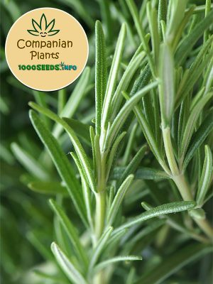 Companian-Plant-rosmarie