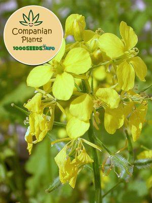 Companian-Plant-weisser-Senf