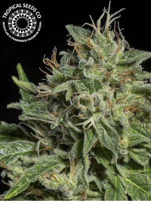 Purple Nurple von Tropical Seeds