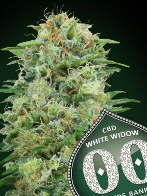 White Widow CBD von 00 Seeds