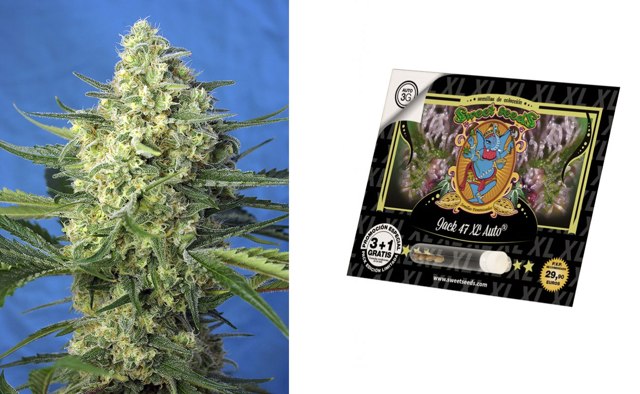 jack-47-XL-Sweet-Seeds