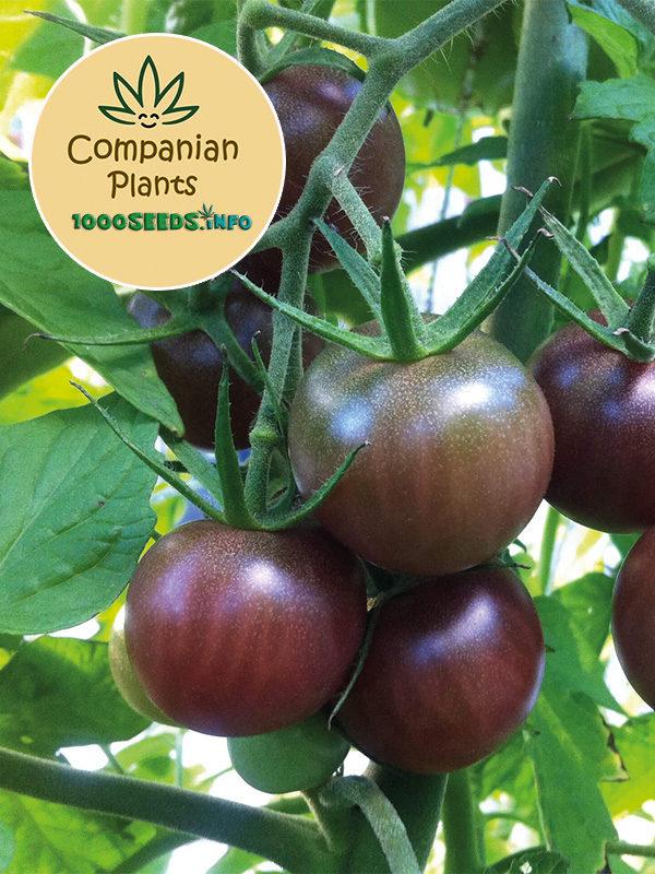 Black-Cherry Tomate