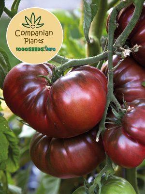 Black-Russian-Tomate-Samen