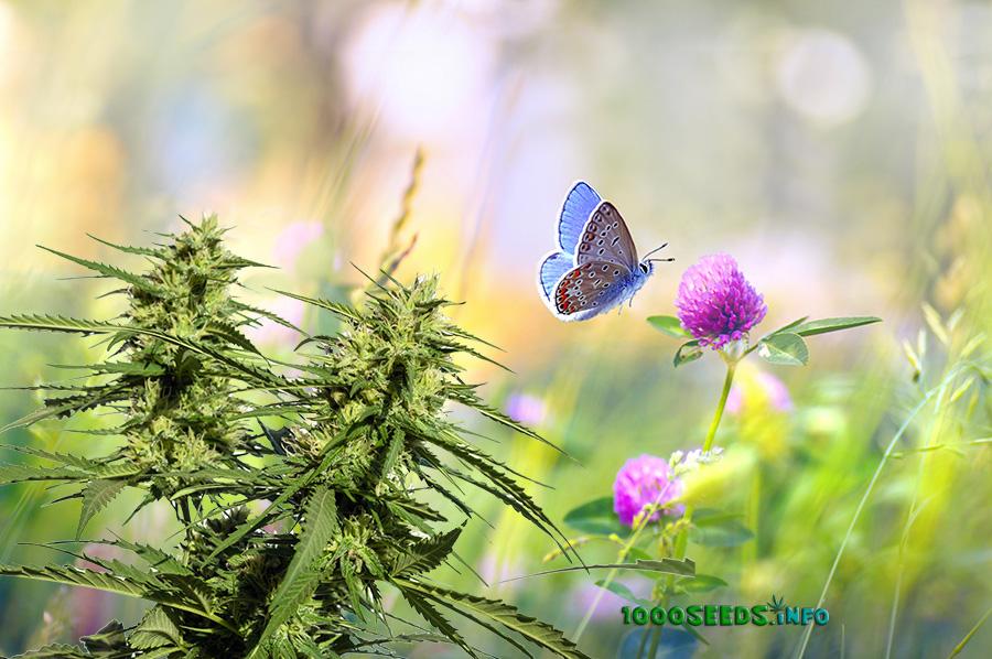 Begleitpflanzen Cannabis