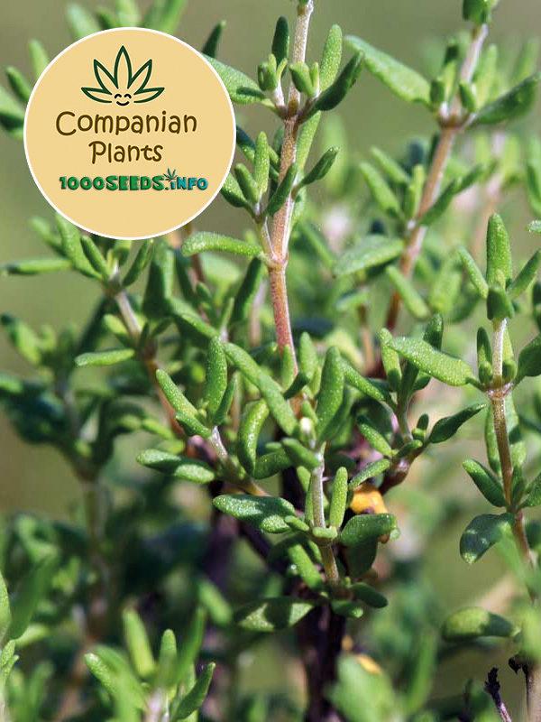Thymian Companion PLant