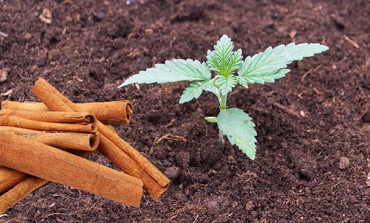 Cannabisanbau-Zimt-Insektizid