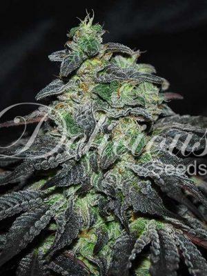 Golosa von Delicious Seeds