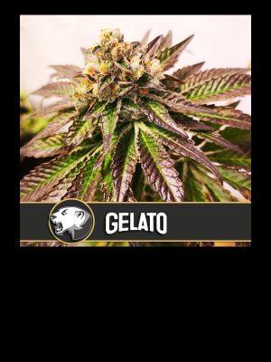 Gelato-BLimburn-Seeds
