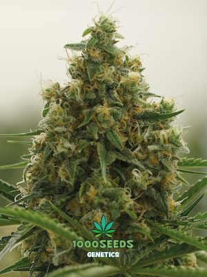 Afghan Skunk von 1000 Seeds Genetics