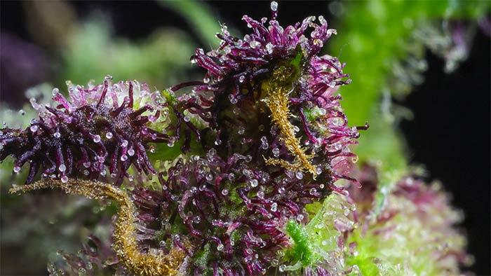 Flavonoide-Marijuana