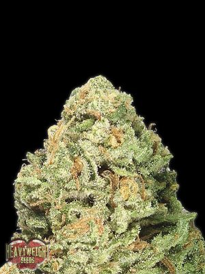 Fruit-Punch-Heavy-Weight-Seeds