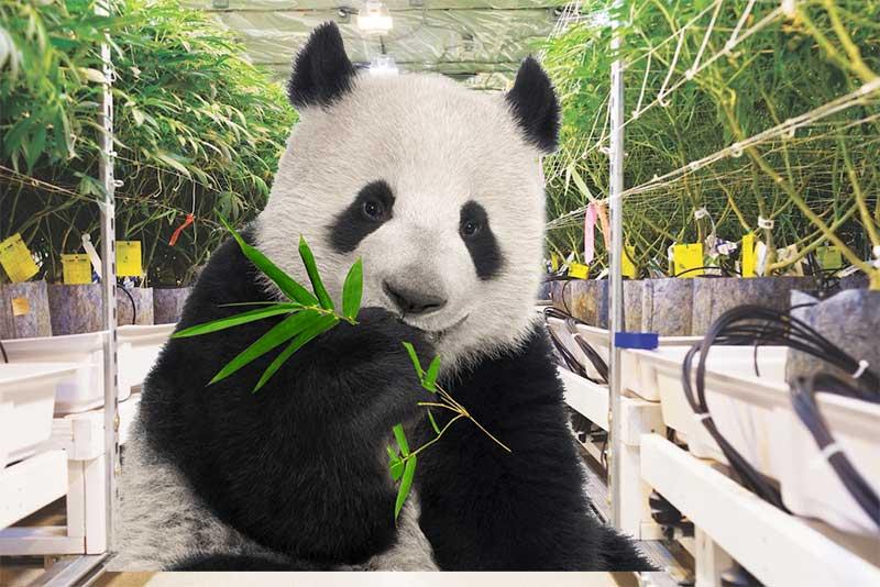 Phat Panda Cannabissamen