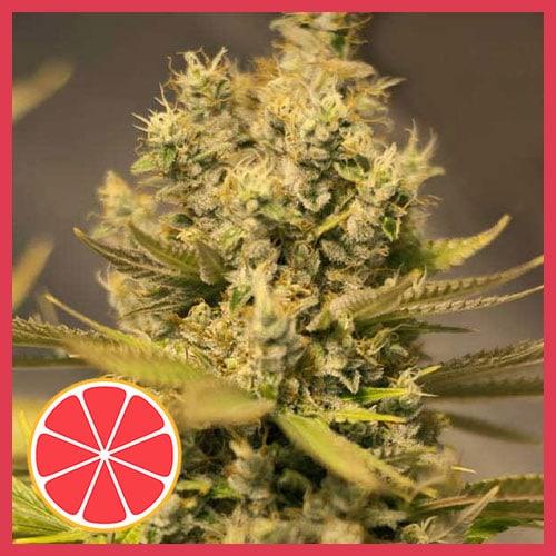 Grapefruit Free Seeds