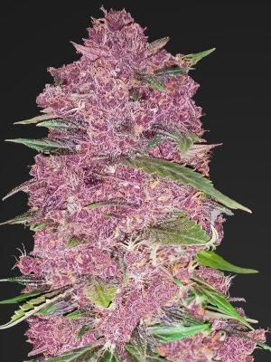 Purple Lemonade von Fast Buds