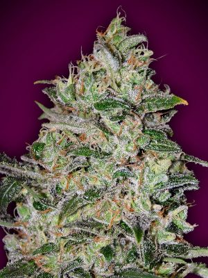 Bubble Gum Fast von 00 Seeds