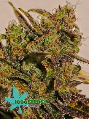1000Seeds-Tropicanna-Watermelon